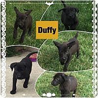 Adopt A Pet :: Duffy - Marlton, NJ