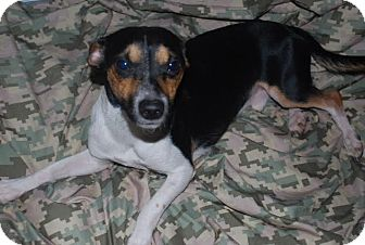 Jack Russell Terrier Mix Dog for adoption in Saddle Brook, New Jersey - Jack