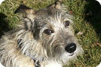 Wirehaired Fox Terrier Mix Dog for adoption in Rockville, Maryland - Toby~MUTT OF THE MONTH~ADOPTION PENDING!!!!