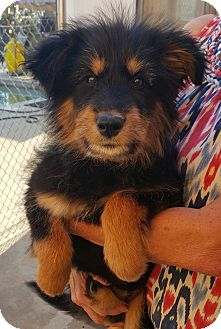 Irish Wolfhound/Collie Mix Puppy for adoption in Los Angeles, California - Xena- Adoption Pending