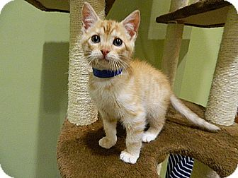 Domestic Shorthair Kitten for adoption in The Colony, Texas - Mercury