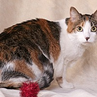 Domestic Mediumhair Cat for adoption in Chicago, Illinois - Tootie