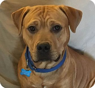 Mastiff/Pit Bull Terrier Mix Dog for adoption in Raritan, New Jersey - Milo PENDING
