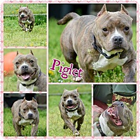 Adopt A Pet :: Piglet - bridgeport, CT