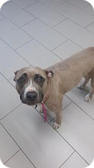 American Pit Bull Terrier Mix Dog for adoption in Philadelphia, Pennsylvania - Silly