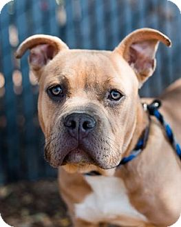 American Staffordshire Terrier/American Bulldog Mix Dog for adoption in Pt. Richmond, California - DINOSAUR