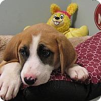 Adopt A Pet :: Sandy - South Dennis, MA