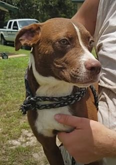Labrador Retriever Mix Puppy for adoption in Haines City, Florida - Bud