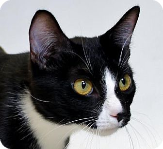 Domestic Shorthair Cat for adoption in Truckee, California - Nicole