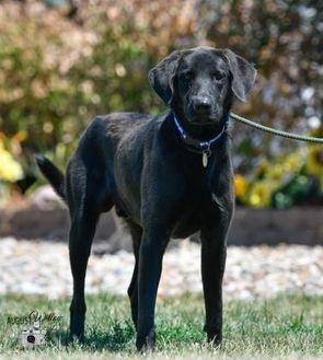 Labrador Retriever Mix Dog for adoption in Ottumwa, Iowa - Black Jack