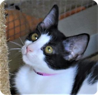 Domestic Shorthair Cat for adoption in Gonzales, Texas - Madisyn
