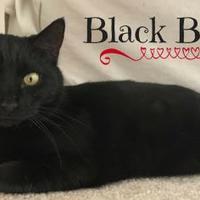 Adopt A Pet :: Black Betty - Greenville, NC