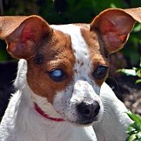 Adopt A Pet :: Dahlia - Bridgeton, MO