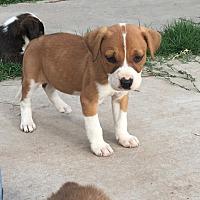 Adopt A Pet :: Diva - Albuquerque, NM