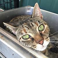 Adopt A Pet :: Amethyst - Tioga, PA
