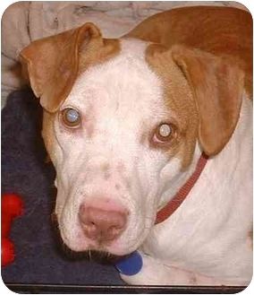 Beagle/American Staffordshire Terrier Mix Dog for adoption in El Segundo, California - Little Lady-URGENT