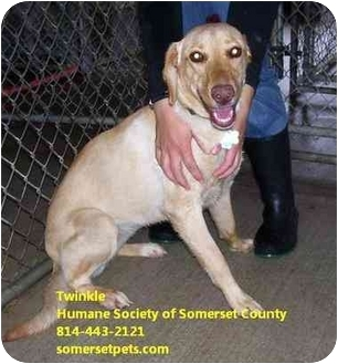 Labrador Retriever/Whippet Mix Puppy for adoption in Somerset, Pennsylvania - Twinkle