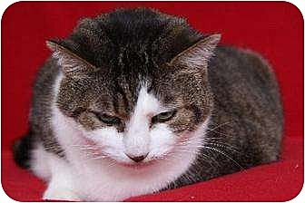 Domestic Mediumhair Cat for adoption in Eldora, Iowa - Taffy