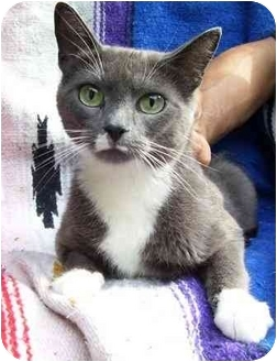 Domestic Shorthair Cat for adoption in Okotoks, Alberta - Jewel