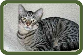 Domestic Shorthair Cat for adoption in Sterling Heights, Michigan - Finnegan - ADOPTED!