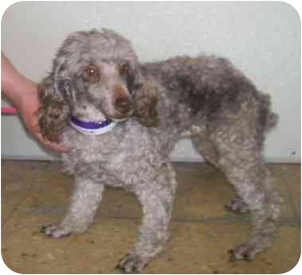 Miniature Poodle Dog for adoption in Oak Ridge, New Jersey - Fudge