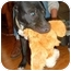 Photo 2 - American Pit Bull Terrier/American Staffordshire Terrier Mix Dog for adoption in Burbank, California - LOLA (Great with Dogs)