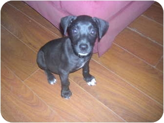 Great Dane/Labrador Retriever Mix Puppy for adoption in Wauseon, Ohio - Miley