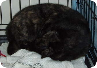 Domestic Shorthair Cat for adoption in Westfield, Massachusetts - MaMA