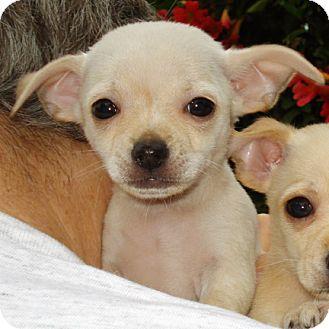 Spaniel (Unknown Type)/Chihuahua Mix Puppy for adoption in El Segundo, California - Alva