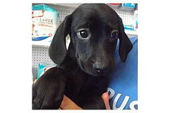 Catahoula Leopard Dog Mix Puppy for adoption in Pompton Lakes, New Jersey - Trinity