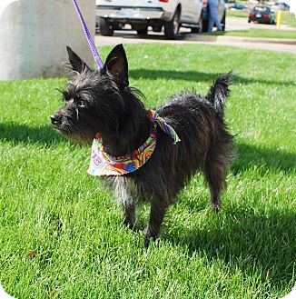 Terrier (Unknown Type, Small) Mix Dog for adoption in White Settlement, Texas - Shirley-Adoption Pending