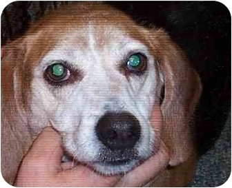 Beagle Dog for adoption in Ventnor City, New Jersey - BOB
