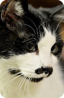 Domestic Shorthair Cat for adoption in Maple Ridge, British Columbia - Sylvester