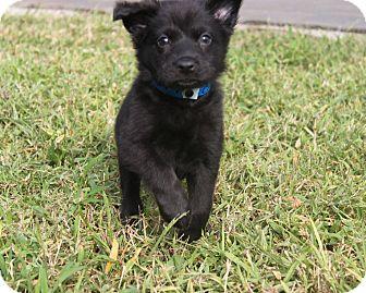 Labrador Retriever/Chow Chow Mix Puppy for adoption in Loxahatchee, Florida - CARTER