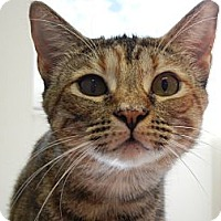 Domestic Shorthair Cat for adoption in Miami, Florida - Pockets