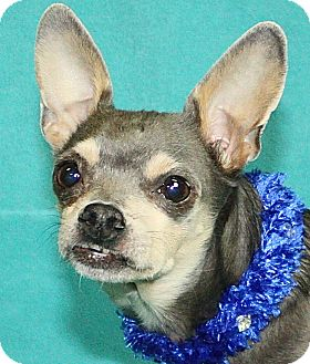 Chihuahua Mix Dog for adoption in Jackson, Michigan - Trooper