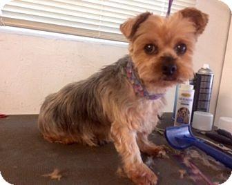 Yorkie, Yorkshire Terrier Dog for adoption in Naples, Florida - Ziggy