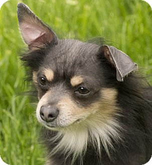 Chihuahua Dog for adoption in Chicago, Illinois - Merlin