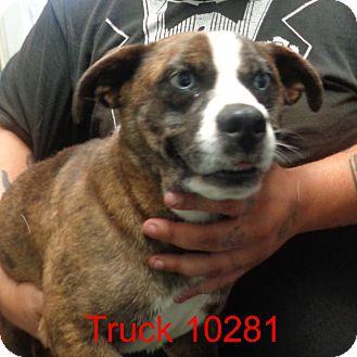 Boston Terrier/Australian Shepherd Mix Dog for adoption in Greencastle, North Carolina - Truck