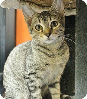 Domestic Shorthair Kitten for adoption in Benbrook, Texas - Sadie