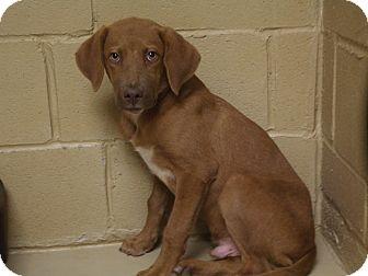 Labrador Retriever/Hound (Unknown Type) Mix Dog for adoption in Marshall, Texas - Chili