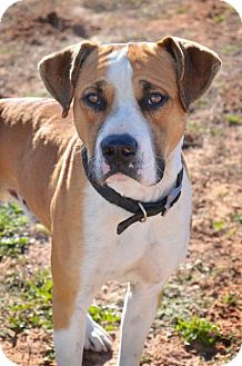 Boxer Mix Dog for adoption in Midland, Texas - Trooper