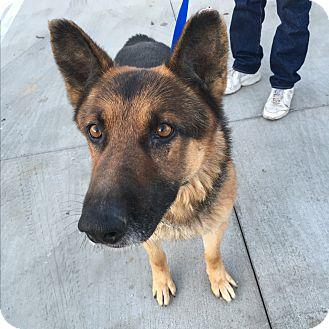 German Shepherd Dog Dog for adoption in North Bend, Washington - Denver