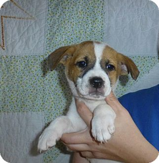 Rat Terrier/Jack Russell Terrier Mix Puppy for adoption in Oviedo, Florida - Kujo