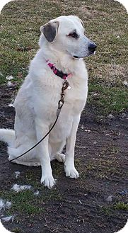 Great Pyrenees Mix Dog for adoption in Croydon, New Hampshire - Rhea - Adotped!