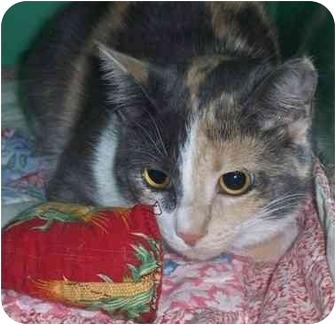 Domestic Shorthair Cat for adoption in Port Hope, Ontario - Shamon