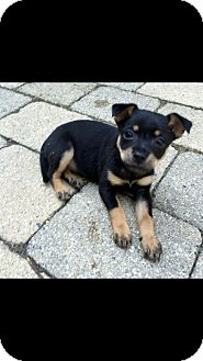 Jack Russell Terrier/Chihuahua Mix Puppy for adoption in Hainesville, Illinois - State