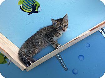 Domestic Shorthair Kitten for adoption in Woodward, Oklahoma - Alexi