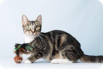 Domestic Shorthair Cat for adoption in Hendersonville, North Carolina - Shiloh