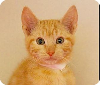 Domestic Shorthair Kitten for adoption in Red Bluff, California - Richard